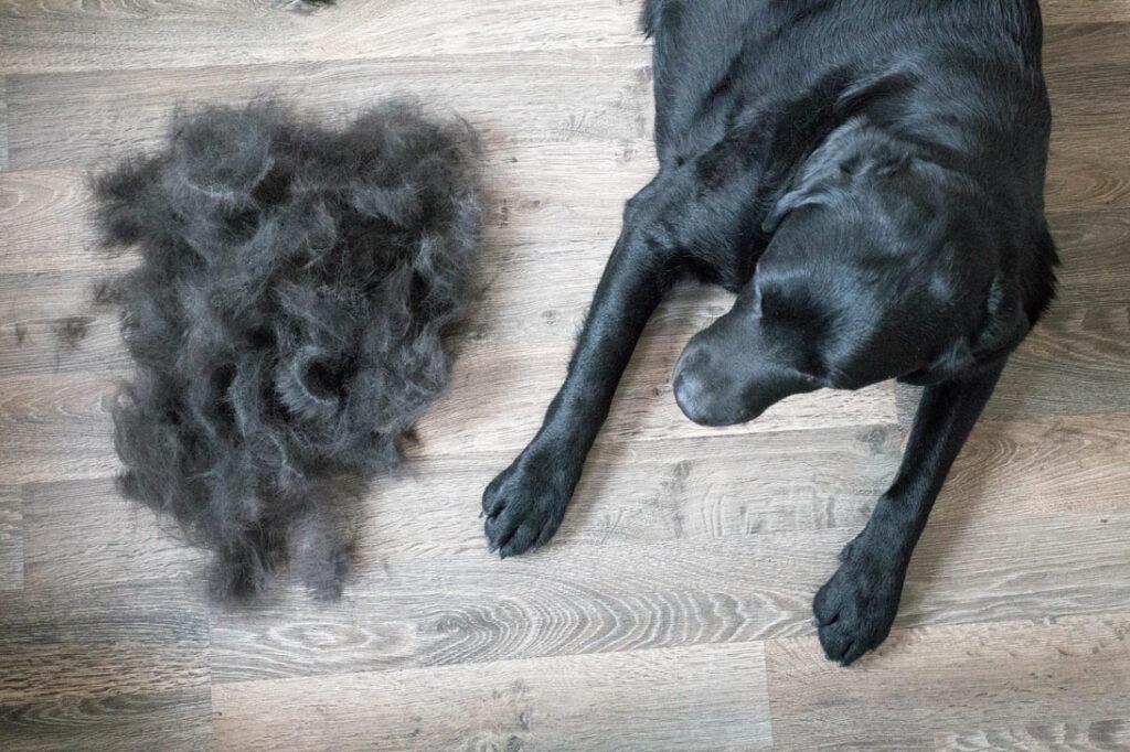 Du solltest das Fell von dein Labrador Retriever ein- oder zweimal pro Woche durchbürsten, damit das lose Haar entfernt wird.
