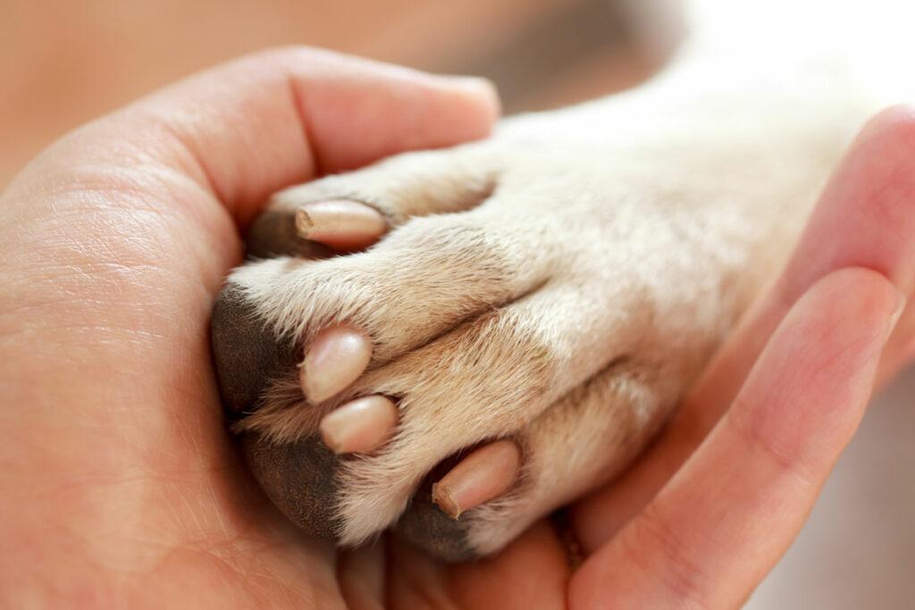Die Krallen vom Labrador Retriever müssen regelmäßig geschnitten werden, da sie weiterwachsen.