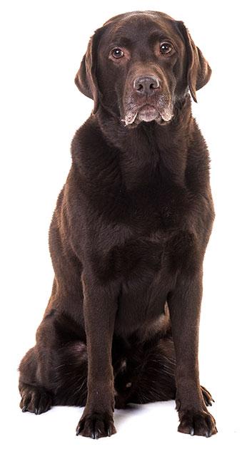 Labrador Senior