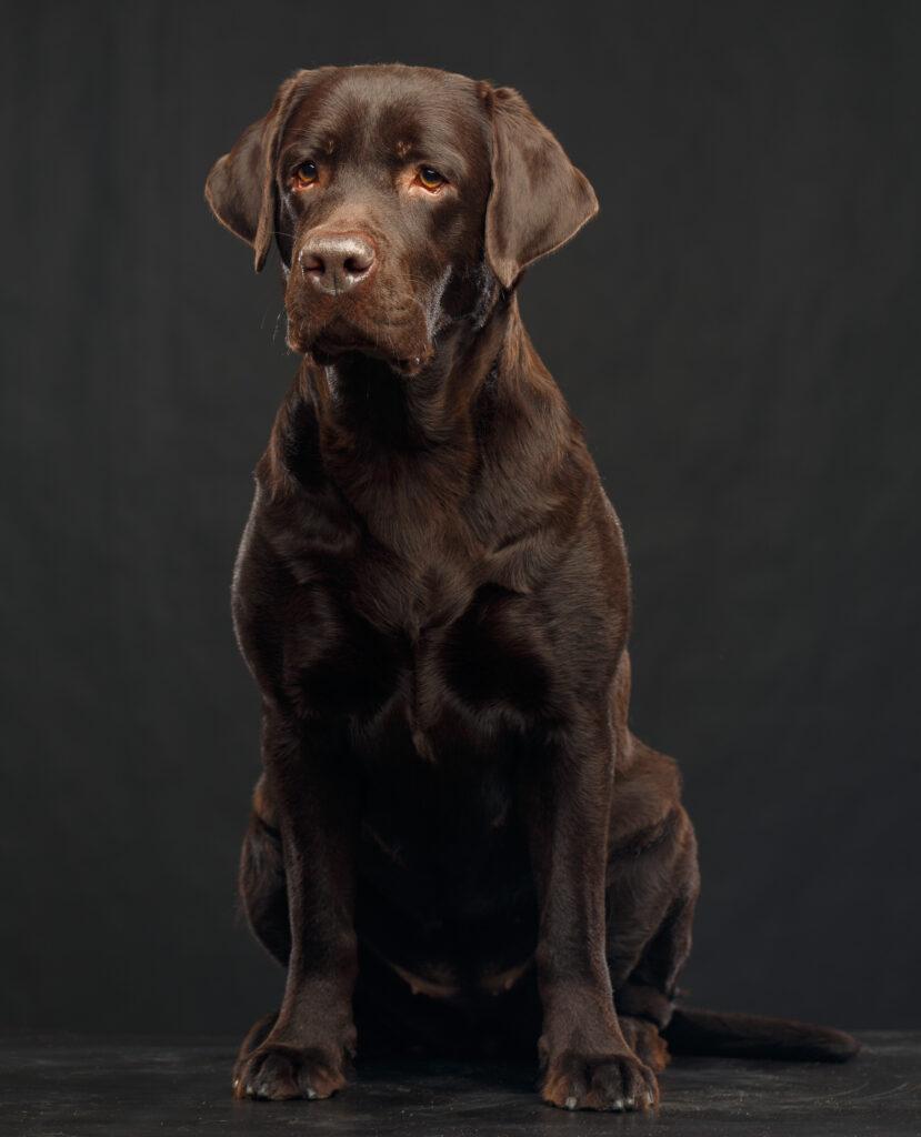 Labrador Retriever Steckbrief