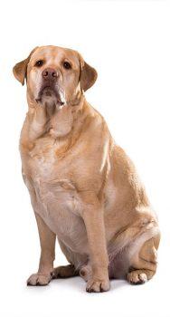Labrador mit Übergewicht | Frostfutter Perleberg Blog
